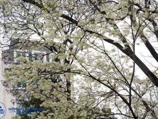 Có nên trồng cây sưa trước nhà không, cần lưu ý những gì?