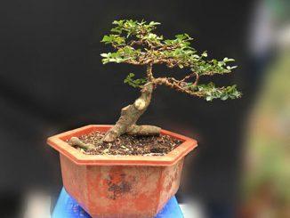 Chọn cây bonsai mini để bàn làm việc cần phải chú ý tới điều gì?